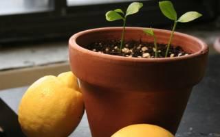 Как правильно сажать лимон в домашних условиях