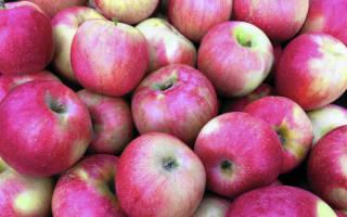 Какие сорта яблок хранятся всю зиму