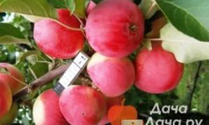 Яблоня шушенское описание фото отзывы