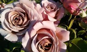 Роза коко локо отзывы