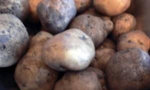 Схема первичной обработки картофеля