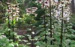 Лилия древовидная выращивание и уход
