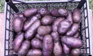 Картофель чугунка описание сорта фото отзывы