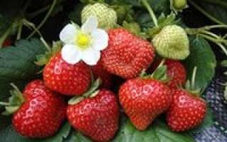 Купить крупноплодные сорта клубники