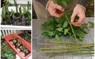 Черенкование розы осенью простой способ размножения