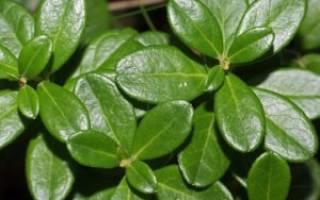 Настойка на листьях брусники