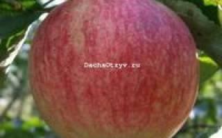 Яблоки слава победителю отзывы