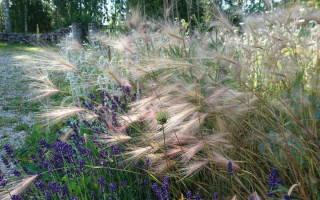 Ячмень гривастый выращивание из семян