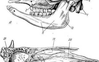 Строение костей черепа животных