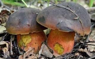 Какие грибы растут под дубом осенью