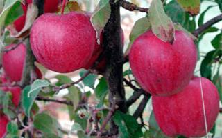 Сорт яблони брусничное фото и описание сорта