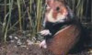 Карбыш зверек фото как прогнать с огорода