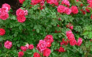 Роза джордж ванкувер энциклопедия роз