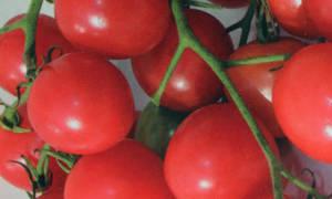 Томат шалун отзывы фото урожайность