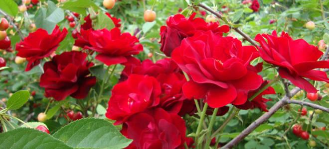 Роза катберт грант отзывы